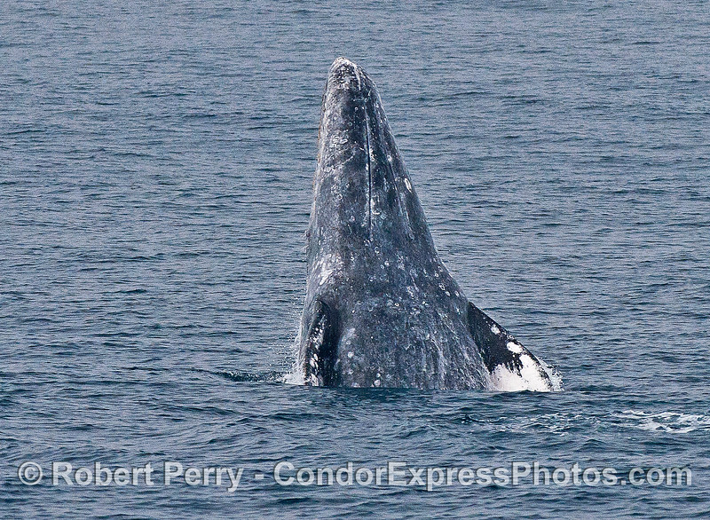 Image 2 of 4 in a row:  a gray whale breaches and shows us its chin.  The line you see is not the mouth, it is one of about 3 ventral grooves that expand when this whale bottom-feeds in Alaskan waters.