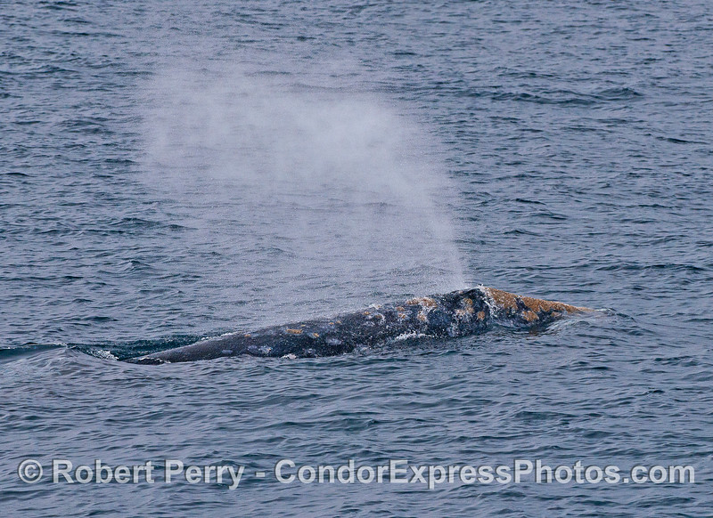 Right flanks and spout of a large adult gray whale.