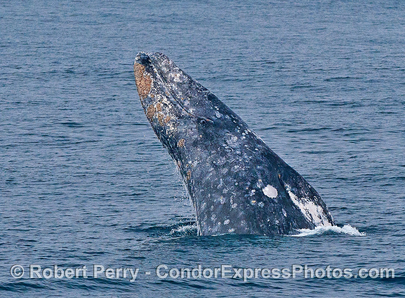 Image 3 of 6 in a row:  a gray whale breaches - eyeball looking at camera.