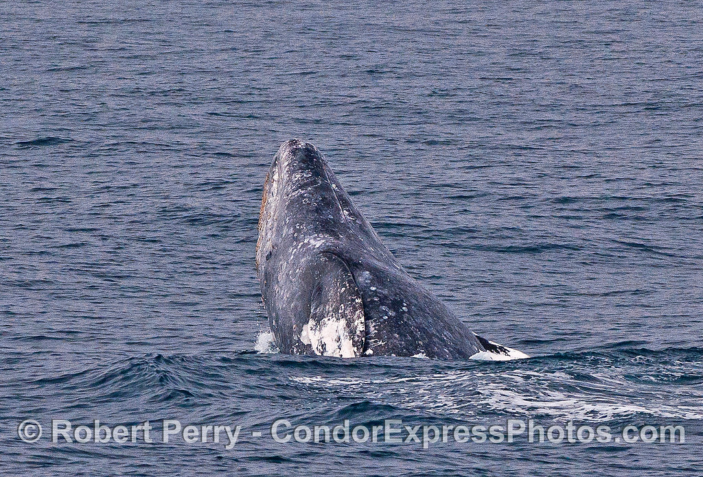 Image 4 of 5 in a row:  a gray whale breaches.
