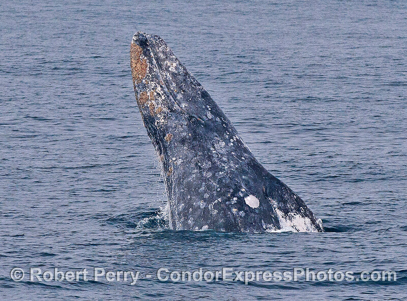 Image 2 of 6 in a row:  a gray whale breaches.