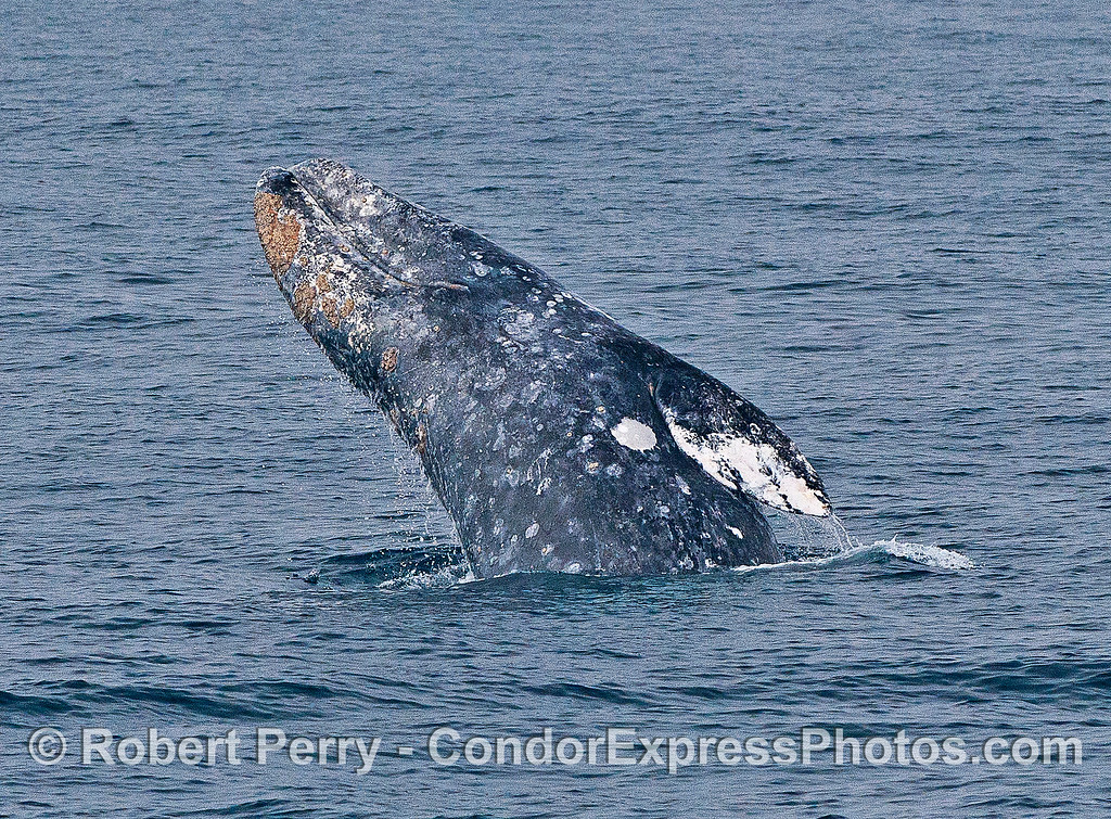 Image 4 of 6 in a row:  a gray whale breaches.