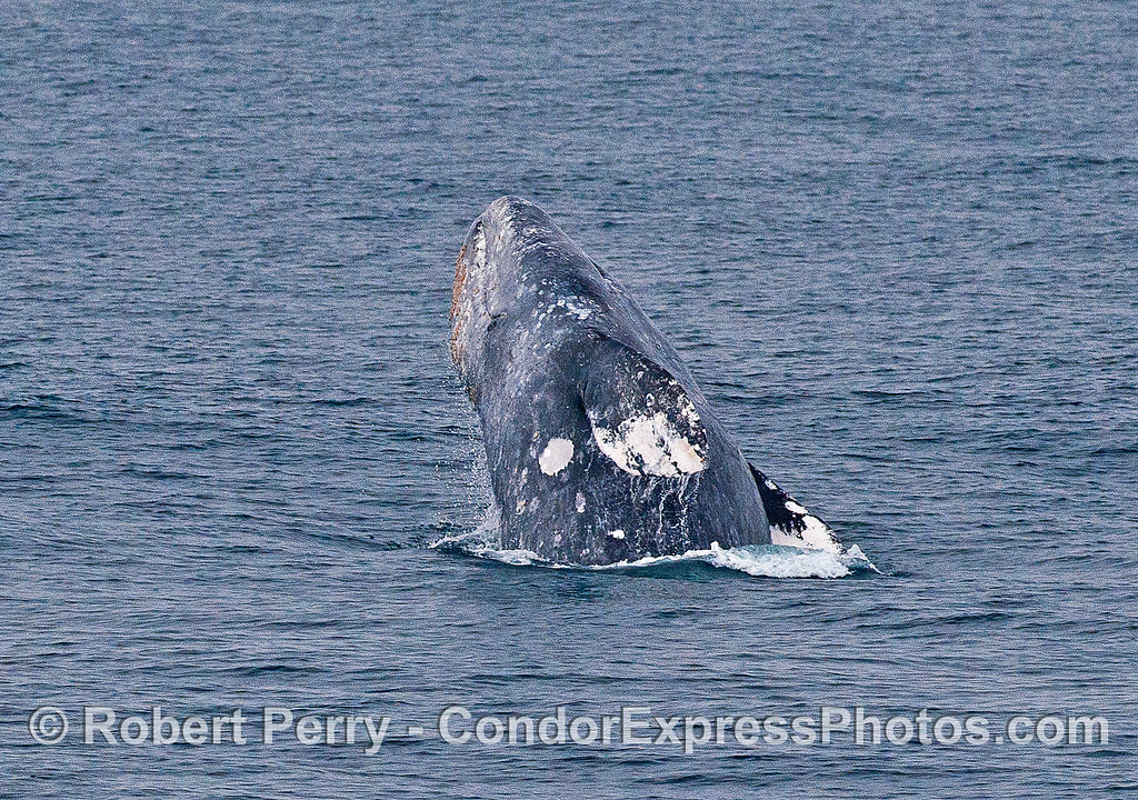 Image 1 of 2 in a row:  a gray whale breaches.