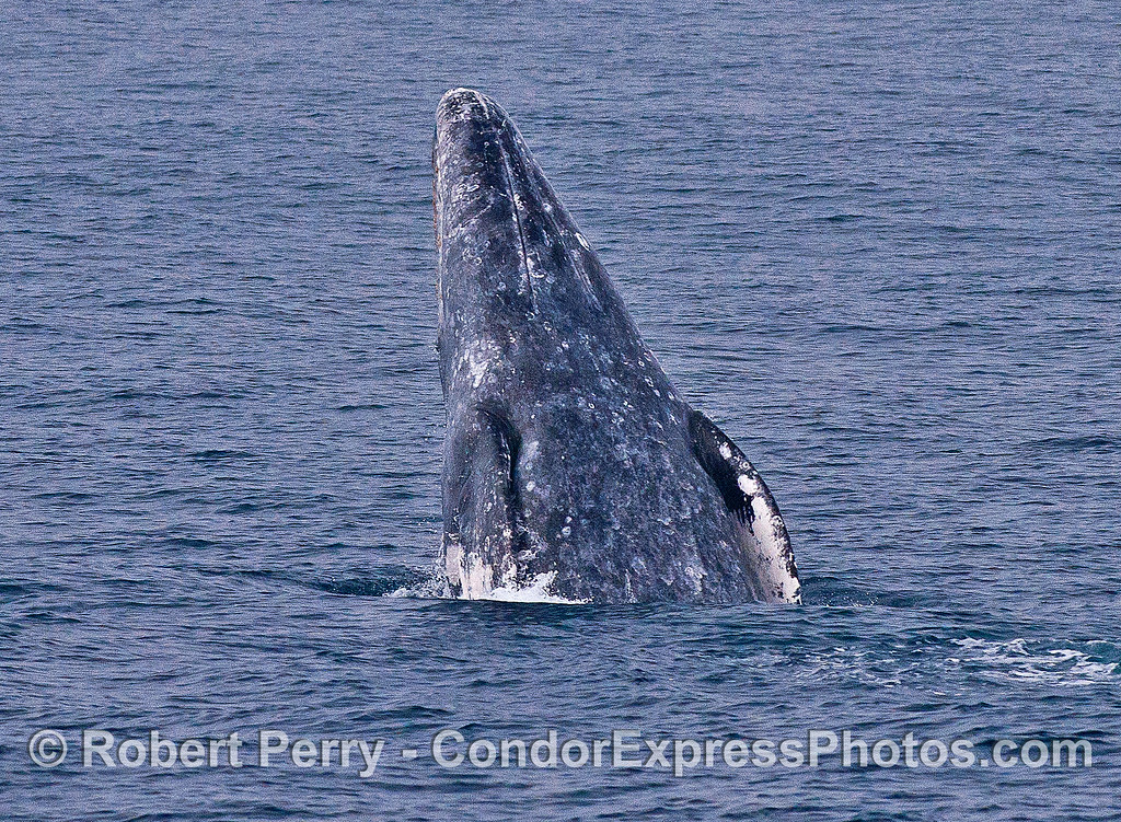 Image 3 of 4 in a row:  a gray whale breaches and shows us its ventral (belly) side.