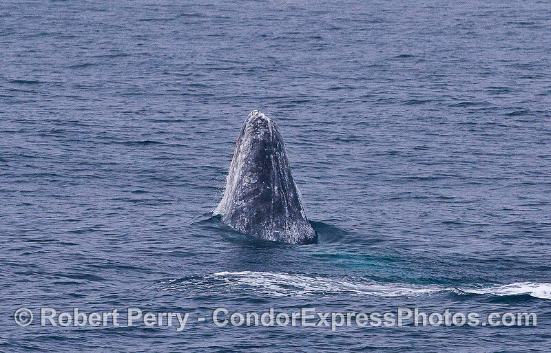 Image 1 of 5 in a row:  a gray whale breaches.
