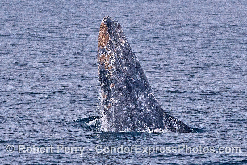 Image 5 of 5 in a row:  a gray whale breaches.