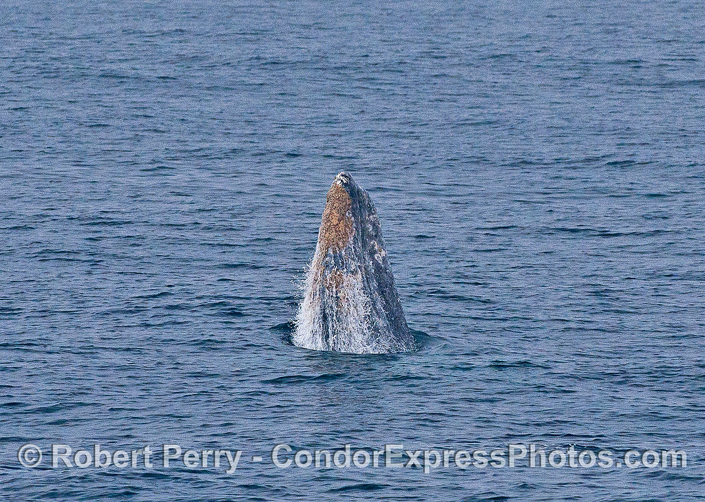 Image 1 of 6 in a row:  a gray whale breaches.