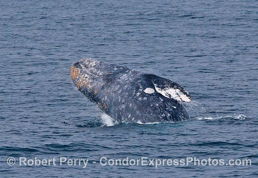 Image 5 of 6 in a row:  a gray whale breaches.