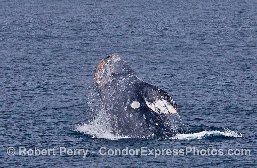 Image 4 of 5 in a row:  a gray whale breaches and prepares to land on its left side.