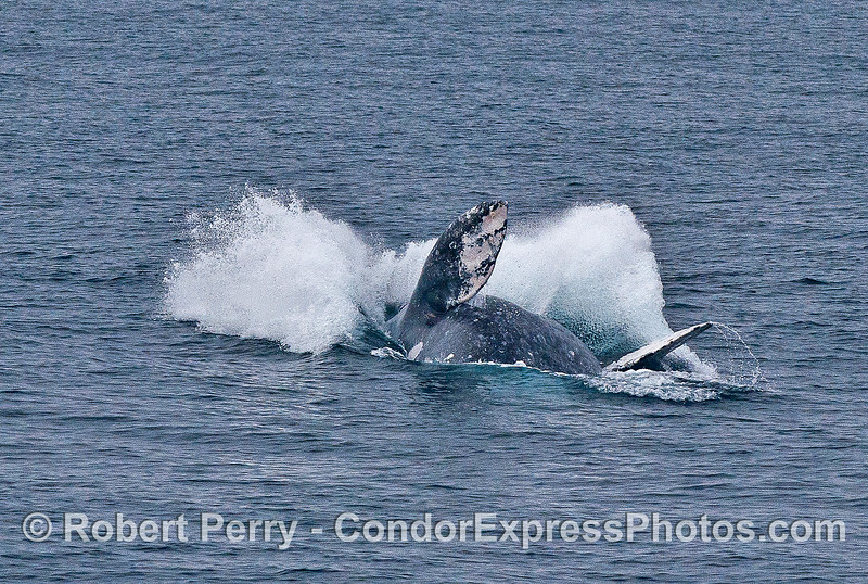 Image 2 of 2 in a row:  a gray whale breaches.