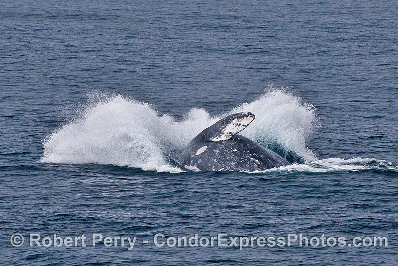Image 5 of 5 in a row:  a gray whale breaches -  splashdown.