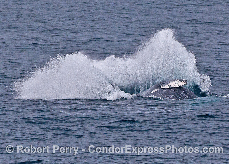 Image 6 of 6 in a row:  a gray whale breaches - kaboom !