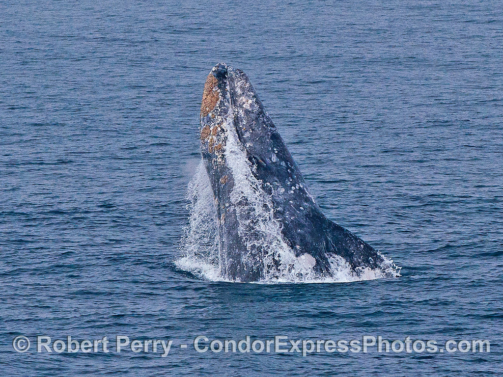 Image 2 of 5 in a row:  a gray whale breaches  - water continues to be ejected from the oral cavity.