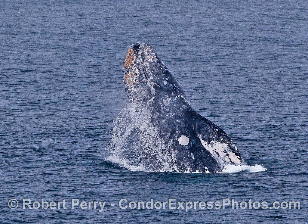 Image 3 of 5 in a row:  a gray whale breaches and leans on its left side on the way down.