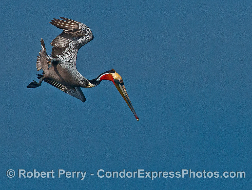 A colorful, adult brown pelican prepares to dive for its dinner.