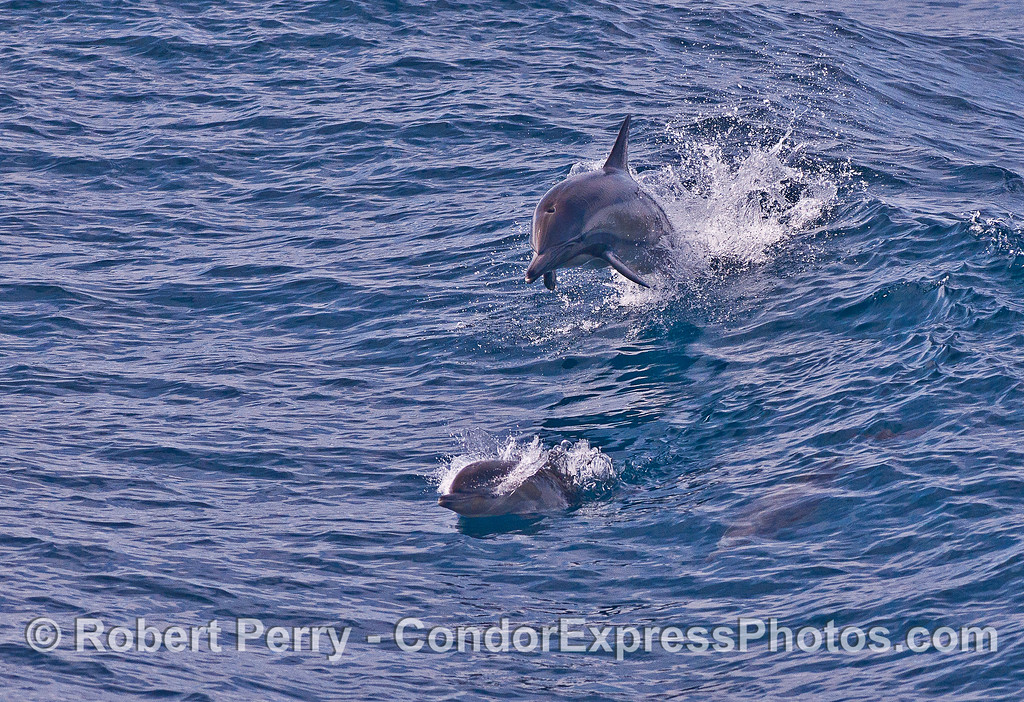 Mother long-beaked common dolphin and her calf - leaping.