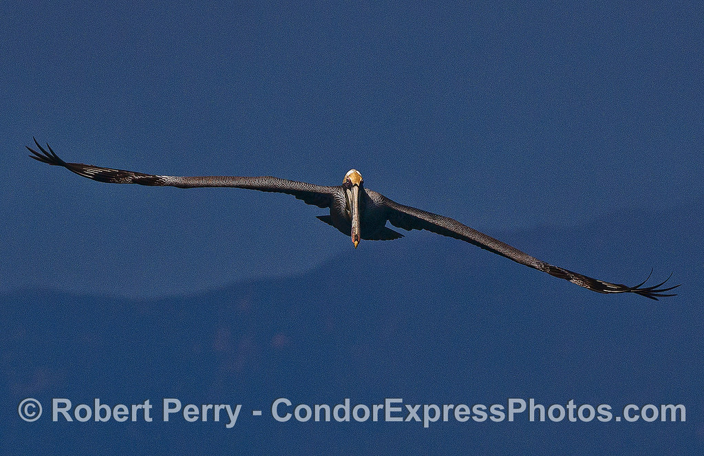 With a 2-meter wingspan, this soaring brown pelican heads for the camera.