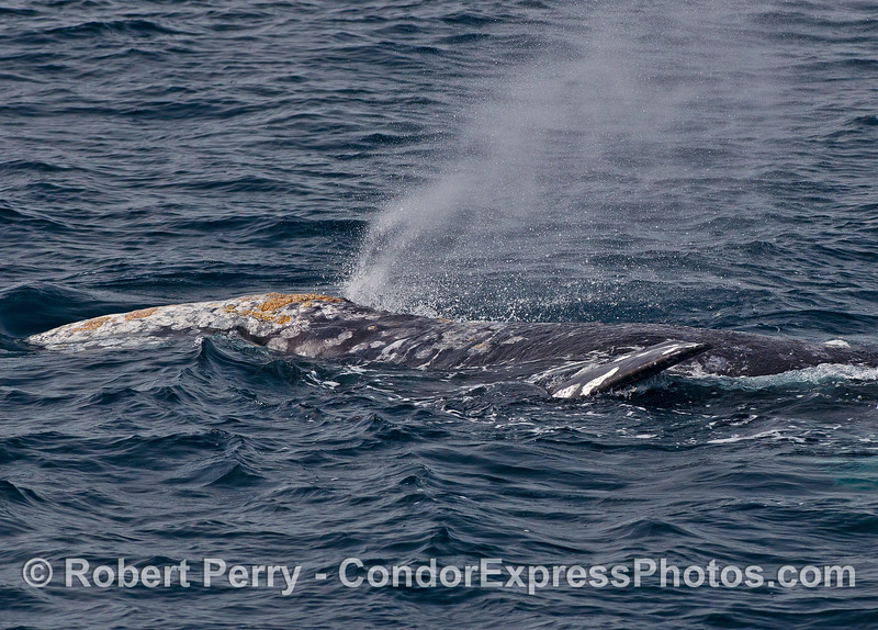 A spouting gray whale looks like it has grown a extra pectoral fin which is actually the fin of a second whale submerged right next to the first whale.