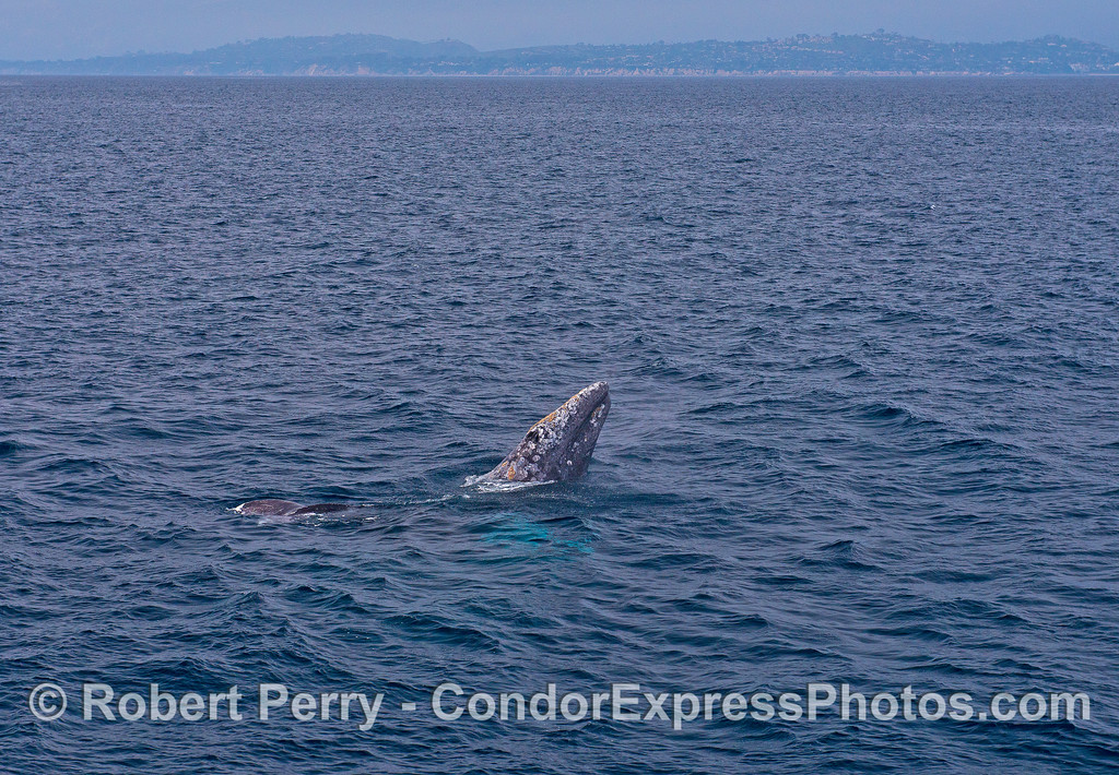 Image 3 of 3:  courtship behavior among a trio of gray whales includes one spyhop.