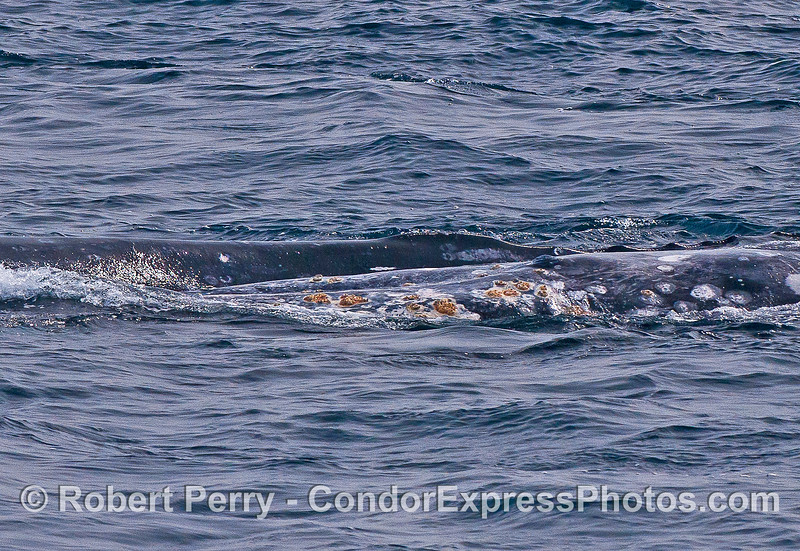 Yin-yang:  Gray whale in foreground has rolled over on its left side to put its ventral (front side) in contact with the gray whale at the top of the photograph.