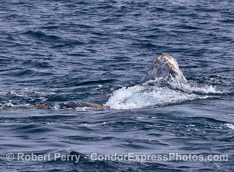 Image 1 of 2:  Head of (perhaps male) whale is on top of a second (perhaps female) whale.