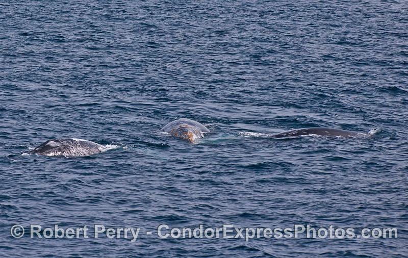 The two outermost gray whales are rapidly approaching the central whale.