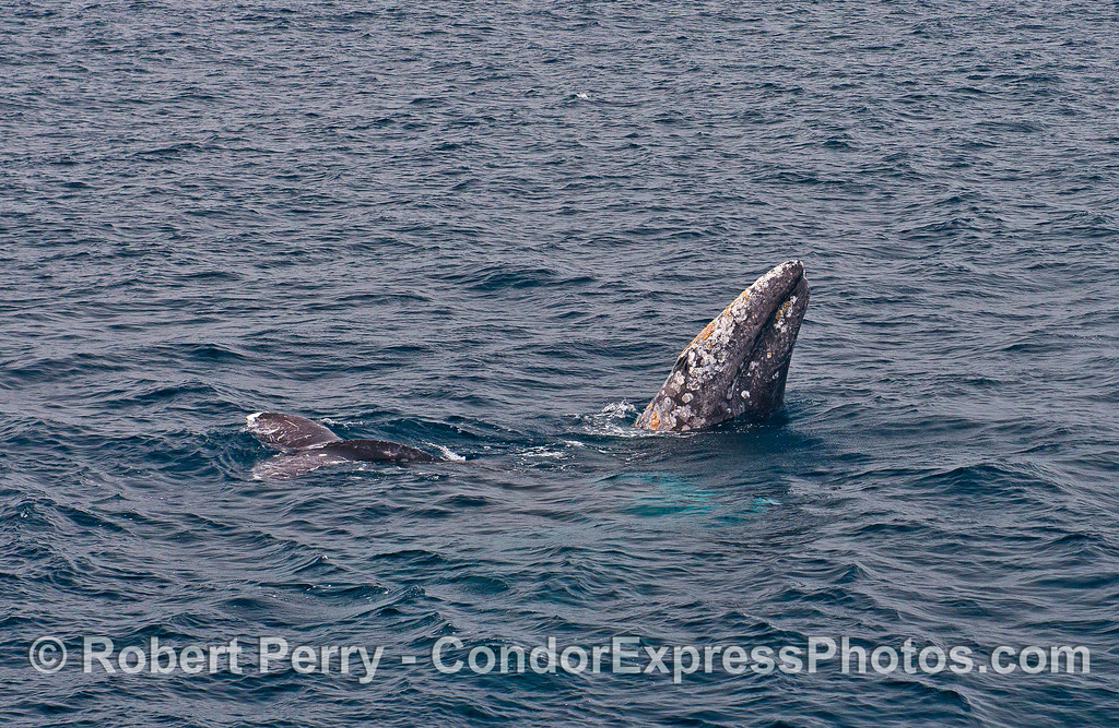 Image 1 of 3:  courtship behavior among a trio of gray whales includes one spyhop.