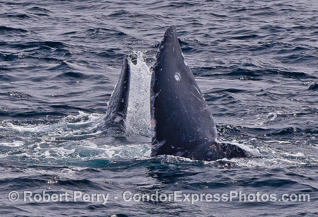 More dualing tail flukes.  Gray whale courtship.