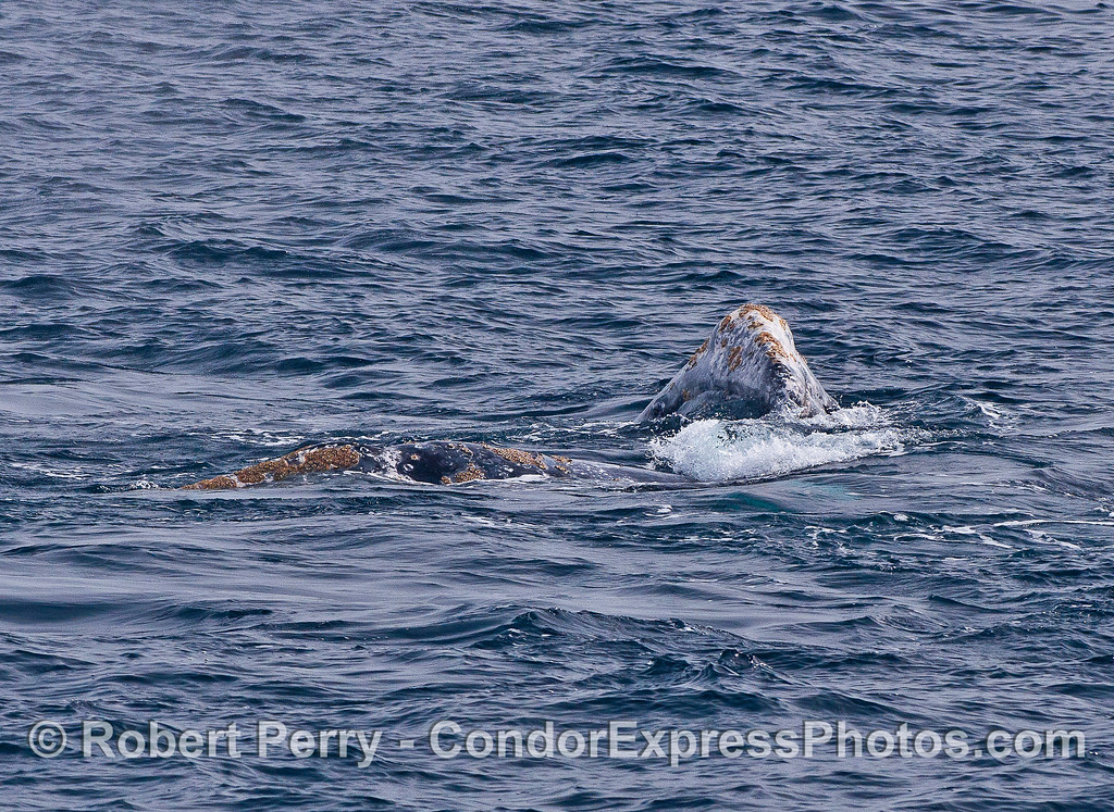 Image 2 of 2:  Head of (perhaps male) whale is on top of a second (perhaps female) whale.