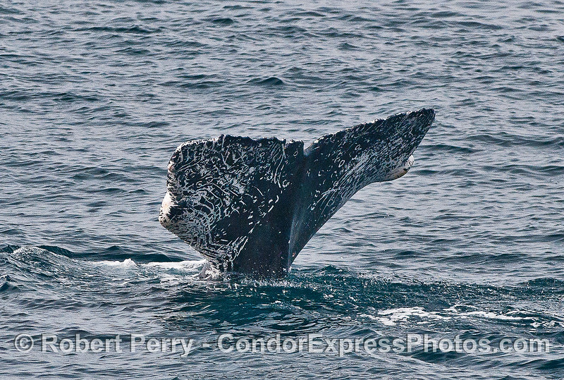 Traumatized humpback whale tail:  Missing fluke tips and lots of rake marks.