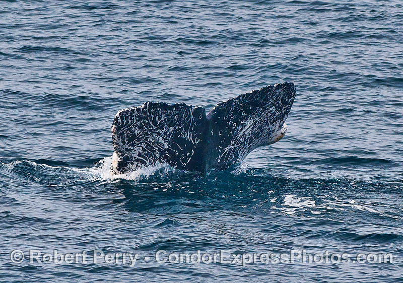 Humpack whale descends into the depths.