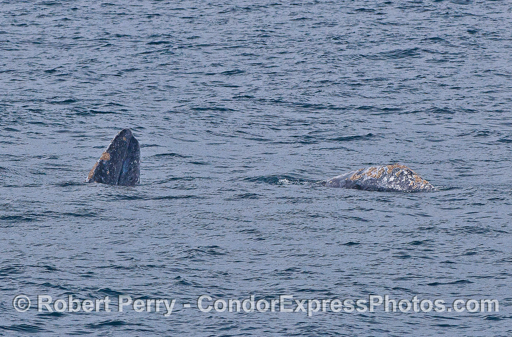 Gray whales mating.