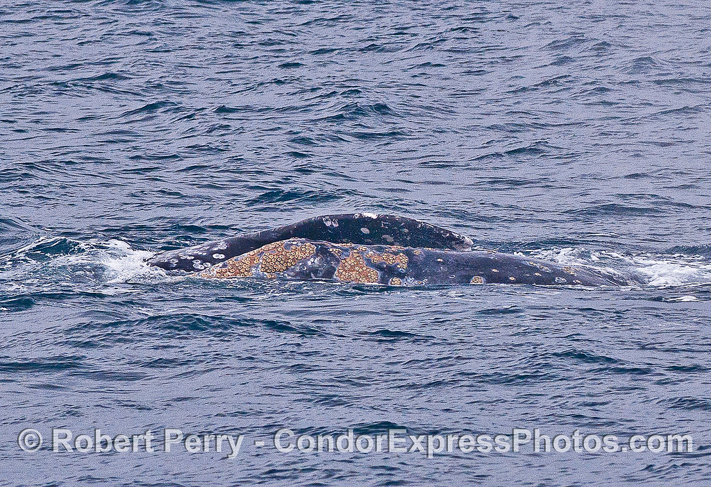 Image 1 of 2:  Gray whales mating - pectoral fin on top of partner whale.