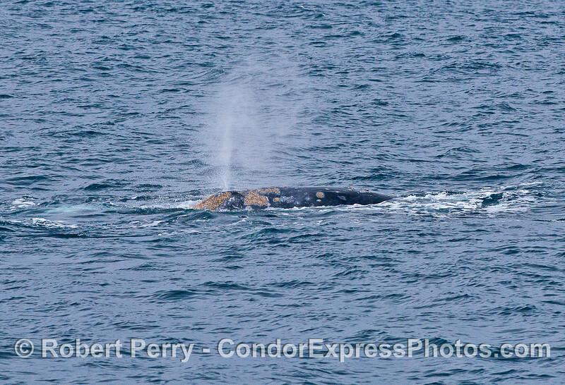 Gray whale spouting.