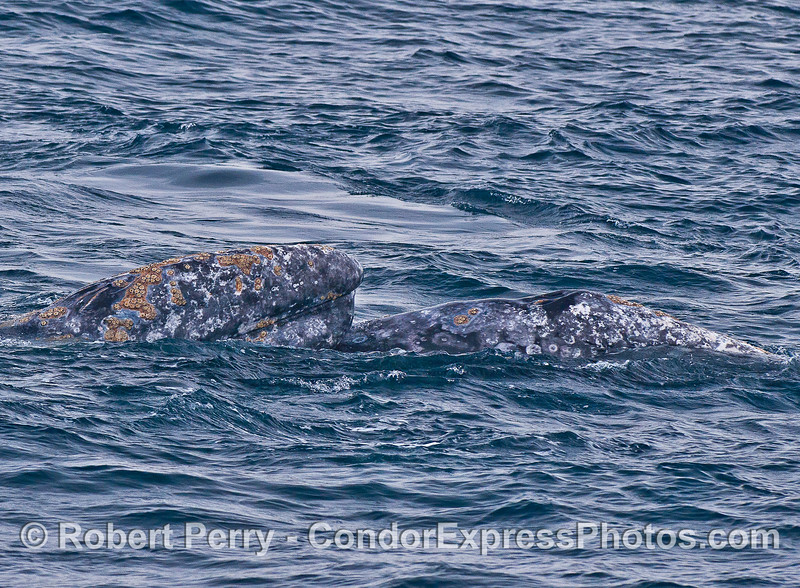 Gray whales mating - head resting on partner whale.