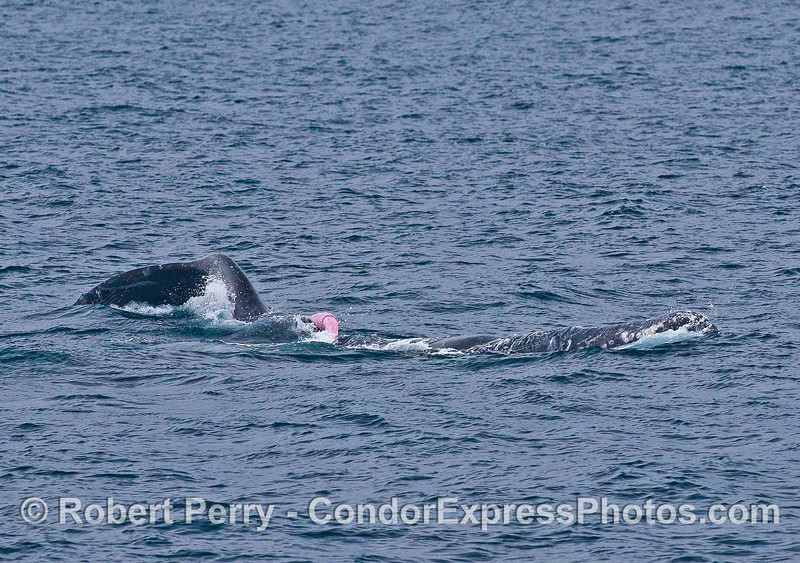 Gray whales mating - pink whale penis (pink Floyd) visble.