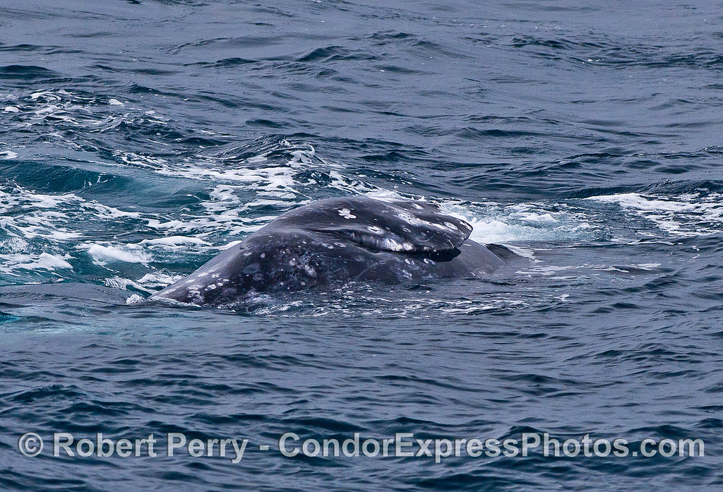 Whale on its side - pectoral fin.