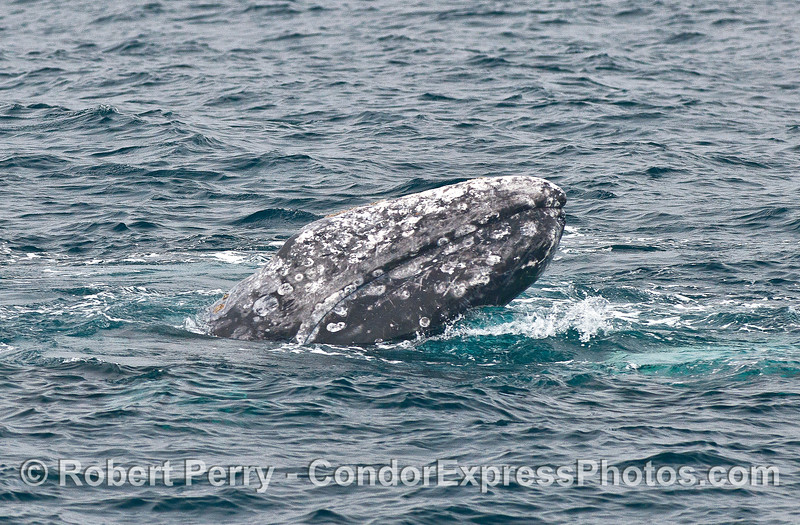 Gray whale chin lift.