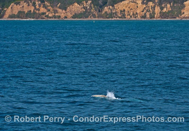 Along the bluffs near Leadbetter Beach, a gray whale spouts.