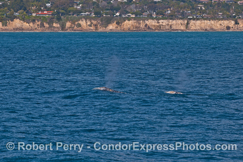 Two gray whales approaching Hope Ranch.