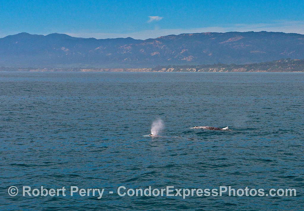 Two gray whales along Hope Ranch with More Mesa ahead.