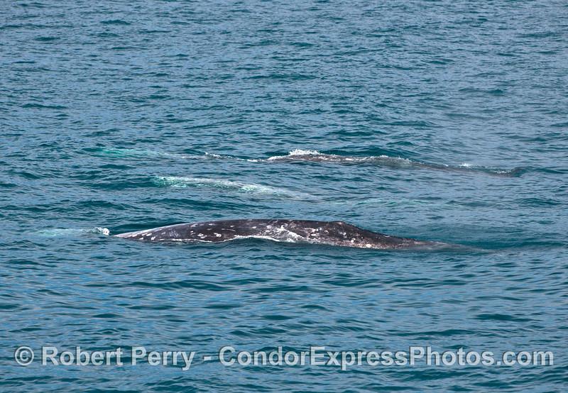 Gray whales - trio.