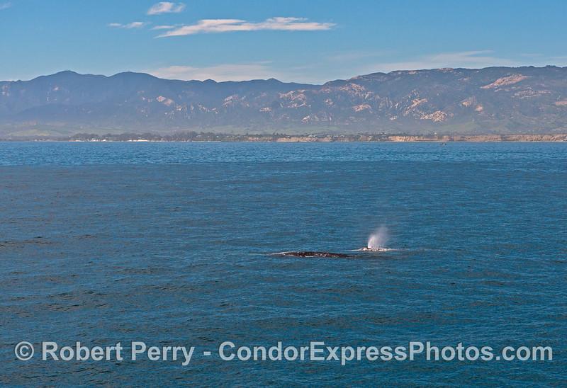 Two grays northbound along the Santa Barbara coast.