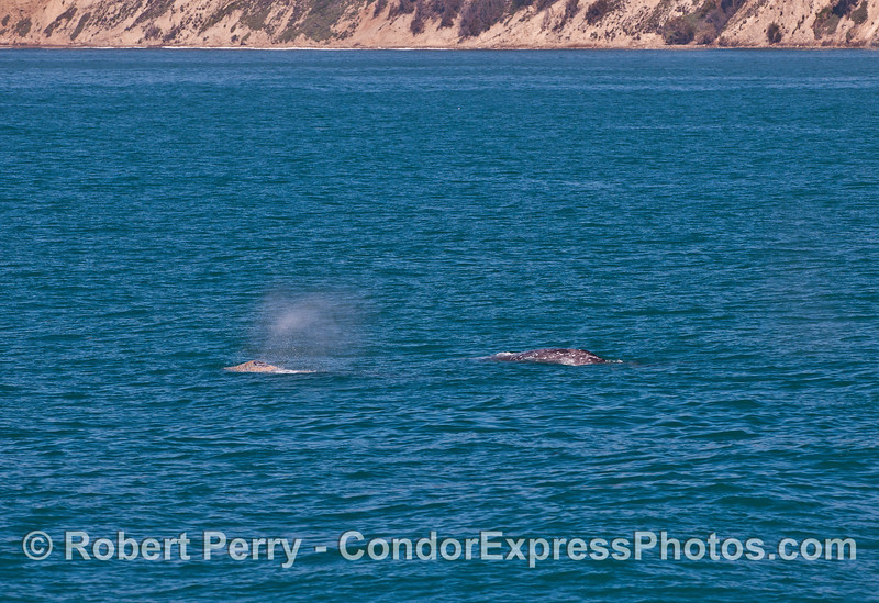 Two gray whales head north along the Hope Ranch coastline.