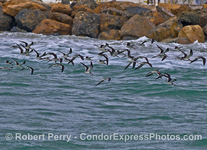 Part of a larger flock of black skimmers circling around the harbor.