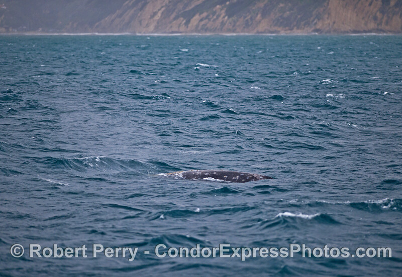Gray whale in the rain.