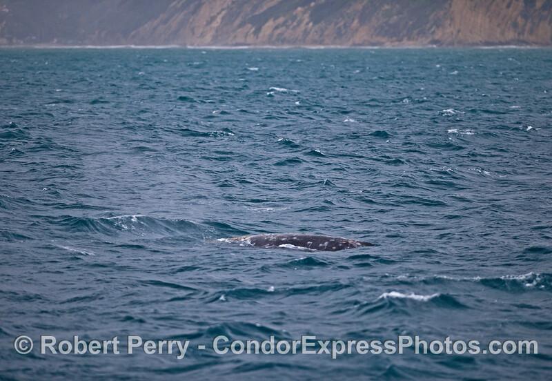 Gray whale in the rain.