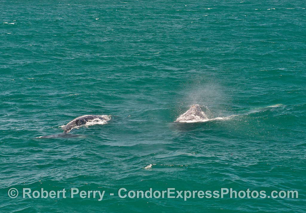 Gray whales in the wind.
