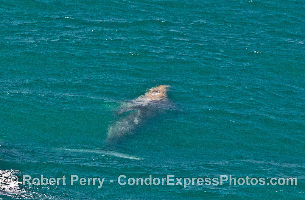 An underwater look at a gray whale in green, choppy water.