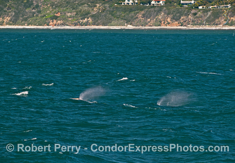 Two gray whales chive on to Alaskan waters and into the prevailing winds.